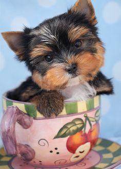 Yorkie puppy <3