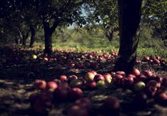 come pick apples with me! (please?)