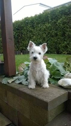 White schnauzer — looks like annie