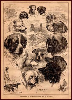 Kennel Club Dog Show Winners, Poodle, Mastiff, English Setter, antique prin 1878 #antique