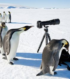 A King penguin looks into the viewfinder of a camera in Antarctica. (Barcroft)