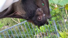 Rehab baby Megabat black male orphan in care Flying-fox Fruit Bat 05/04/2016   Megabats and Microbats