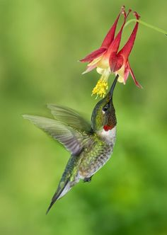 Image result for the ruby-throated hummingbird (Archilochus colubris) with flower