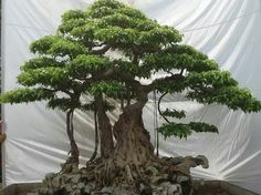 "Bonsai to ""Trees"" or ""Gardening in Containers""?♦️More Pins Like This At FOSTERGINGER @ Pinterest ♦️"