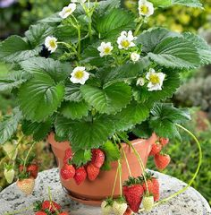 Strawberries in pot