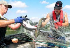 Gillnetters on the Fraser River haul in sockeye salmon last summer. Fewer sockeye are projected to return this year and there are growing fears that poor river conditions will hammer the survival rate of the ones that do.