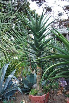 Full size picture of Aloe 'Hercules' (<i>Aloe barberae x dichotoma</i>)