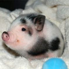 Pig in a blanket <3 I want one!!!