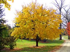 Yellow Maple Tree by David Wagner
