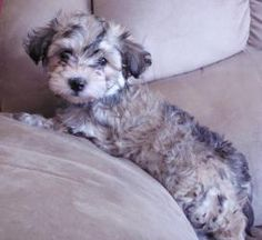 Havenese-Bichon-Heidi is an adoptable Havanese Dog in Omaha, NE. If you are interested in adopting, please fill out an ADOPTION APPLICATION .Little 8 week old Hava Shon, 'Heidi' has arrived in Littl...