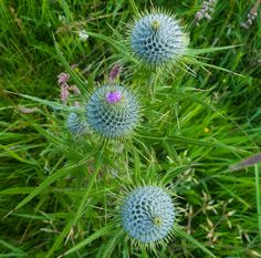 Spear thistle (Cirsium vulgare) flower heads not yet opened. Near Thurso, Caithness, Scotland. Saw Series, Environmental Art, Image Collection, Photo Book, Etsy Store, Scotland, My Photos, Fine Art, Flowers