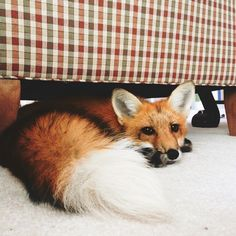 Juniper the little fox