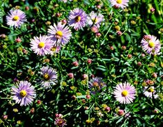False Aster. Late summer blooms