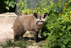 Life Span of this fox is about six years and their scientific name is Otocyon Megalotis. These foxes belong to Canidae family and they are nocturnal. Their life span is about twelve years in captivity. Bat Eared Fox, Fox Farm, Tile Manufacturers, Foxes, Wilderness, Make Me Smile, Kangaroo, Creative Design, Finance