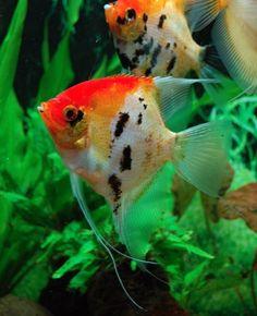 Orange koi angelfish.  Changing lives at www.winwithwillnow.wordpress.com