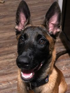 One Malinoo, One Borber - She has them wild eyes on Pastor Belga Malinois, Wild Eyes, Belgian Malinois, Dog Eating, Border Collie, Mans Best Friend, Doggies, Cute Pictures, Handsome