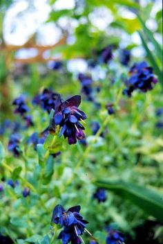 Honeywort- fragrant and attracts hummingbirds (Annual) grows well in Zone 9 Long Flowers, Winter Flowers, Blue Flowers, Winter Plants, Winter Garden, Blue Shrimp, Flowers Perennials, Purple Perennials, Annual Flowers