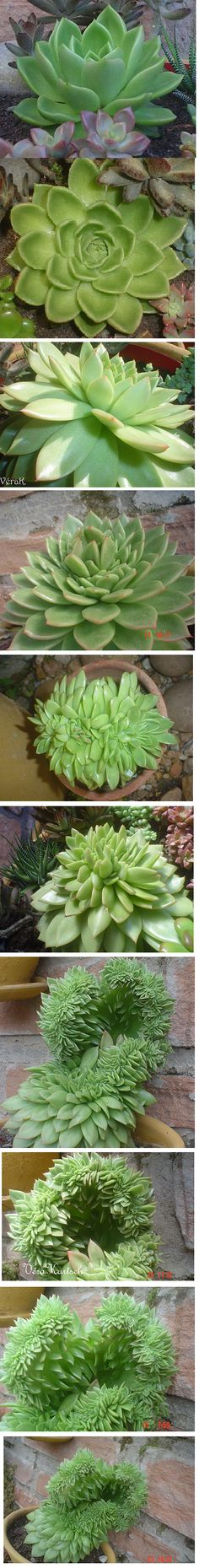 Echeveria agavoides cristate, a montage showing its transformation into the cristate form.