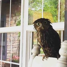 Owl That Showed Up After Heavy Rain