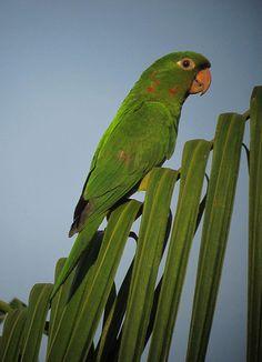 White-eyed Parakeet   by felixú