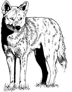 north american wildlife coloring pages free coyote coloring pages - Coyote Coloring Page