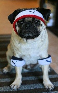 pug work out #fitpug #puglife
