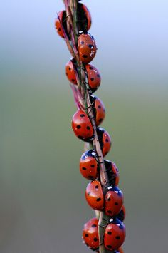 14 Little Ladybugs lined up in a row, climbing up to where nobody knows!