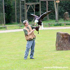 Greifvogel Flugschau in der Eifel im Eifelpark Gondorf #Greifvogel #Flugschau #Eifelpark #Weißkopfseeadler
