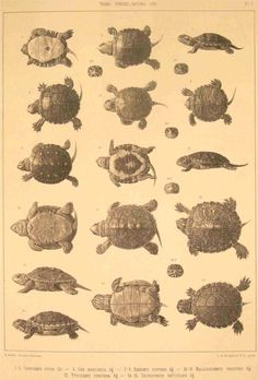 turtles  from  http://bibliodyssey.blogspot.com/2009/12/victorian-infographics.html