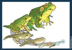 Praatplaat kikkervisje kikker voor kleuters, kleuteridee.nl , life cyle frog for preschool , free printable.