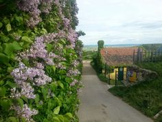 Lilacs Lilacs, Austria, Vineyard, Fruit, Plants, Outdoor, Wine, Easter, Outdoors