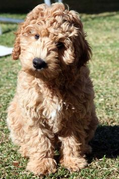GAGA Labradoodles Puppies For Sale Dogs for Adoption Family Pets