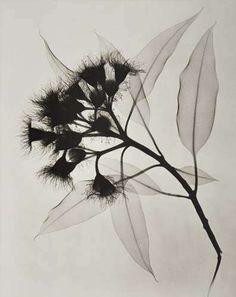© dain l. tasker | eucalyptus | an x-ray | 1932