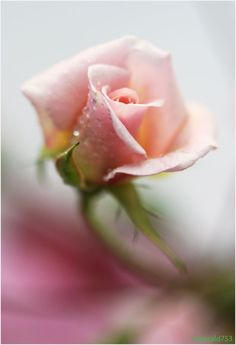Shabby Pink rose ✿⊱╮ Beautiful Pictures