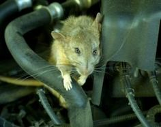 Mice, rats and other rodents can do surprising damage in your car engine and other automotive parts. How you you keep them out of your vehicle?