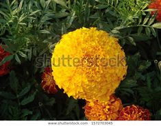Find Yellow Mexican Marigold Flower Close stock images in HD and millions of other royalty-free stock photos, illustrations and vectors in the Shutterstock collection. Thousands of new, high-quality pictures added every day. Marigold Flower, Vectors, Photo Editing, Royalty Free Stock Photos, Mexican, Illustrations, Yellow, Pictures, Flowers