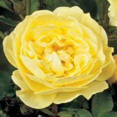 Marktäckande ros GOLDEN COVER('Poulgode') Golden Eyes, Espadrilles, Flowers, Plants, Espadrilles Outfit, Florals, Plant, Flower, Bloemen