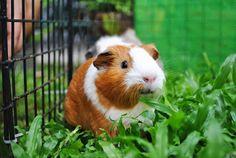 The Guinea Pig Daily: Cinnabon