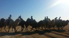 Winter camel riding on Elsen tasrkhai sand dunes.