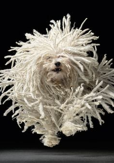 Hungarian Puli - and he cleans floors too