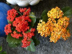 plantas-que-florecen-en-primavera-06 Kalanchoe