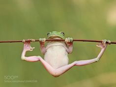 The green tree frog by ThompJerry
