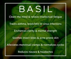 BASIL essential oil benefits for the mind, female body & wellness Basil Essential Oil, Doterra Essential Oils, Essential Oil Blends, Cabbage Health Benefits, Mental Strength, Practical Magic, Young Living Oils, Carrier Oils, Aromatherapy