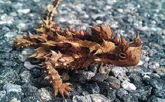 diabo espinhoso (Moloch horridus)