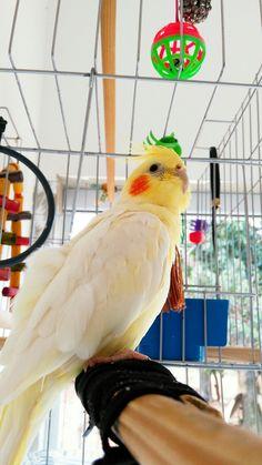 Lupi Parakeets, Cockatiel, Parrots, Fake Photo, Animal Care, Beautiful Birds, Pet Care, Pet Birds, Cute Animals