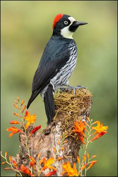 Acorn Woodpecker (Melanerpes formicivorus) perched on a branch tree at San Gerardo de Dota, Costa Rica. Pretty Birds, Love Birds, Beautiful Birds, Animals Beautiful, Exotic Birds, Colorful Birds, Bird Pictures, Animal Pictures, Different Birds