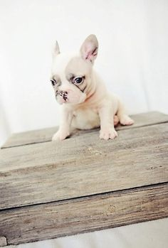 ah sweetie pie! Love french bulldogs