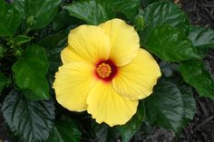 Tropical or Chinese Hibiscus