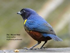 Marcelo Hübel: Ferro-velho - Euphonia pectoralis - Aves de São Bento do Sul