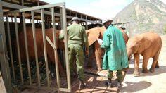 Die drei kleinen Elefantenwaisen sind gut in der Auswilderungsstation Ithumba angekommen und konnten nun den Transporter verlassen.  Bild: (c)DSWT